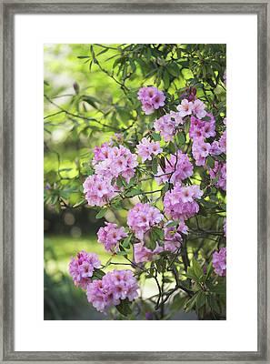 Pink Rhododendron Bloom Framed Print