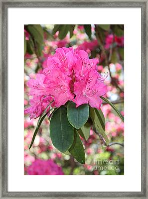 Pink Rhododendron Cluster Framed Print by Carol Groenen