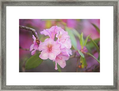 Pink Rhododendron Flowers Framed Print