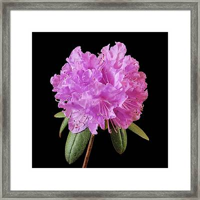 Framed Print featuring the photograph Pink Rhododendron  by Jim Hughes