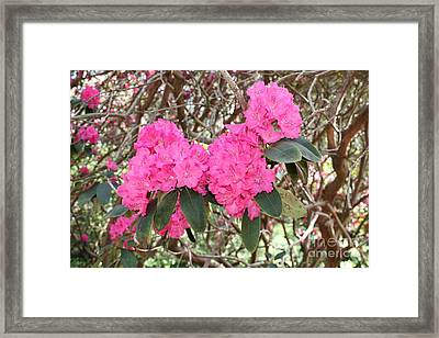 Pink Rhododendrons With Branches Framed Print by Carol Groenen