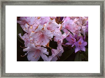 Pink Rhododendrums  Framed Print by Lyle Crump