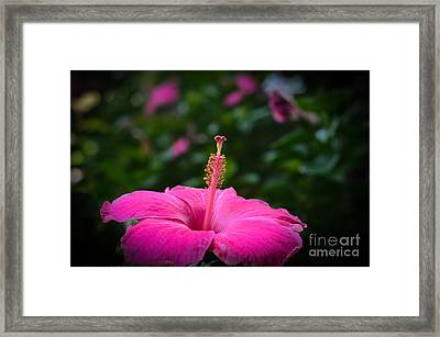 Framed Print featuring the photograph Pink Romance by Kelly Wade