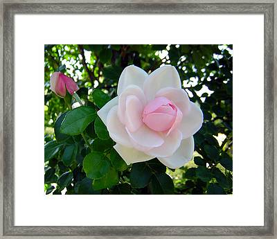Pink Rose 2 Framed Print