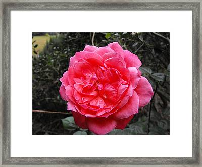 Pink Rose Framed Print by Adam Cornelison
