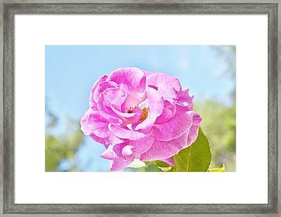 Pink Rose Against Blue Sky IIi Framed Print by Linda Brody