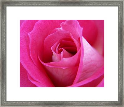 Pink Rose Framed Print by Amy Fose