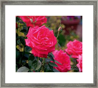 Pink Rose And Bud Framed Print by Rod Ismay
