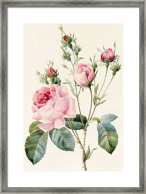 Pink Rose And Buds Framed Print by Louise D'Orleans