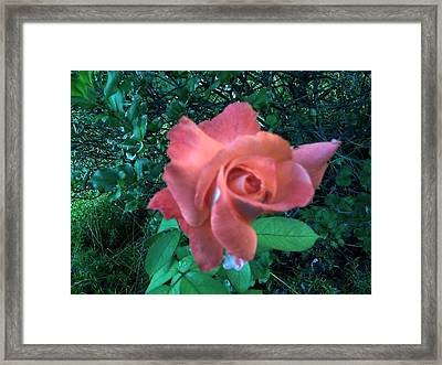 Pink Rose Awakening Framed Print by Misty VanPool