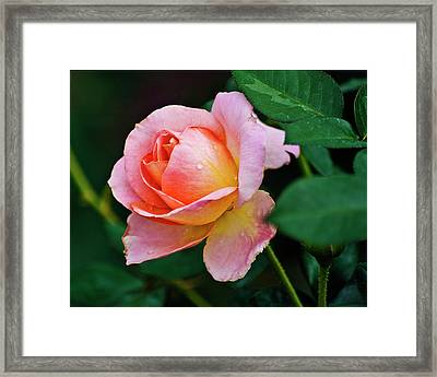 Framed Print featuring the photograph Pink Rose by Bill Barber