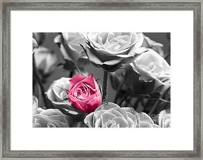 Pink Rose Framed Print by Blink Images