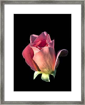 Pink Rose Bud Framed Print