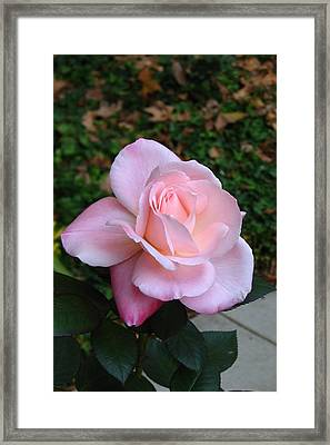 Pink Rose Framed Print by Carla Parris