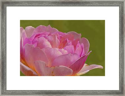 Pink Rose #d3 Framed Print