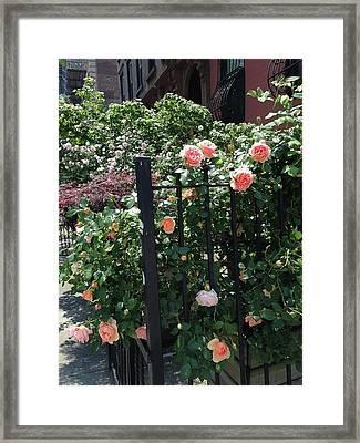 Pink Rose Fence Framed Print by Carolyn Quinn