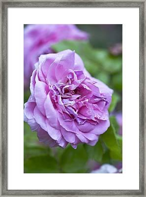 Pink Rose Flower Framed Print by Frank Tschakert