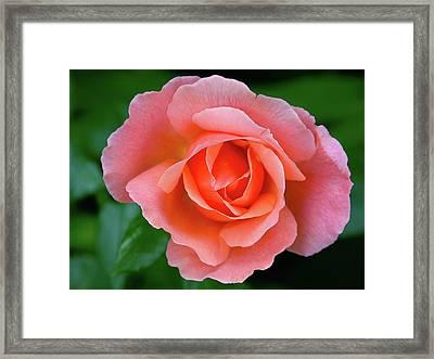 Pink Rose Framed Print by Graham Taylor