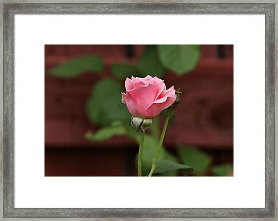 Pink Rose In The Garden Framed Print by Sandy Keeton