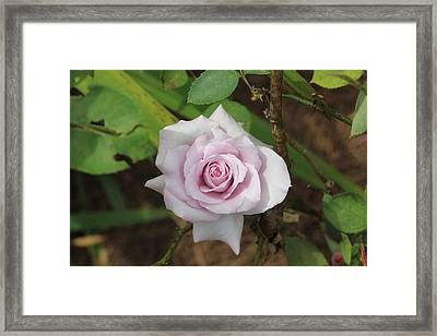Pink Rose Framed Print by Jerry Battle