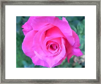 Pink Rose Framed Print by John Parry