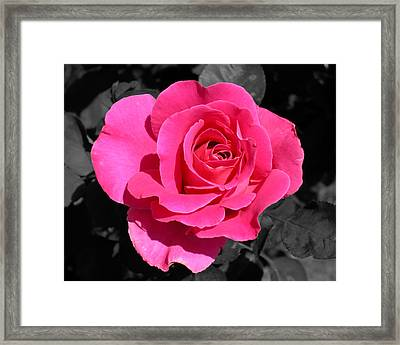 Perfect Pink Rose Framed Print