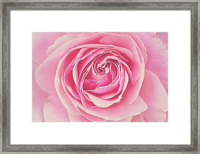 Pink Rose Petals Framed Print by Melanie Alexandra Price