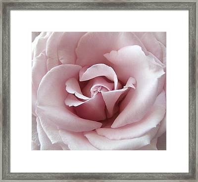Pink Rose Framed Print by Robert Meanor