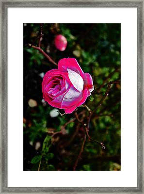 Pink Rose Romania. Framed Print