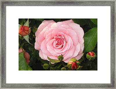 Framed Print featuring the photograph Pink Rose - Rose Rose by Nature and Wildlife Photography