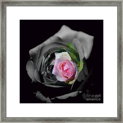 Pink Rose Shades Of Grey Framed Print