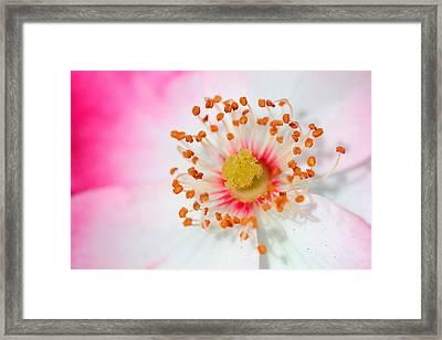 Pink Rose Framed Print by Svetlana Ledneva-Schukina