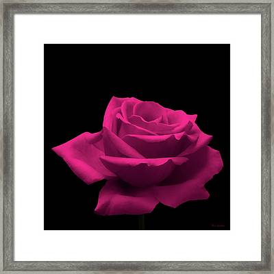 Pink Rose Framed Print by Wim Lanclus