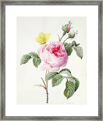Pink Rose With Buds And A Brimstone Butterfly Framed Print by Louise DOrleans