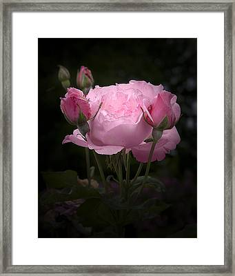 Pink Rose With Buds Framed Print