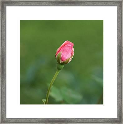 Pink Rosebud Framed Print