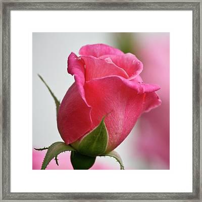 Pink Rosebud Squared Framed Print