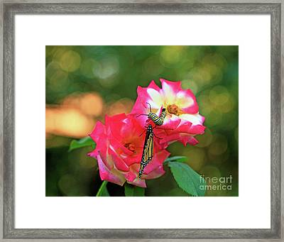 Pink Roses And Butterfly Photo Framed Print