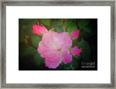 Pink Roses  Framed Print by Inspirational Photo Creations Audrey Woods