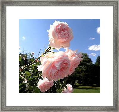 Pink Roses In The Sky Framed Print