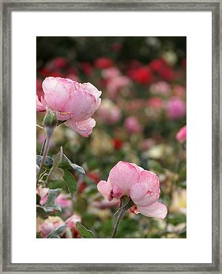 Framed Print featuring the photograph Pink Roses by Laurel Powell