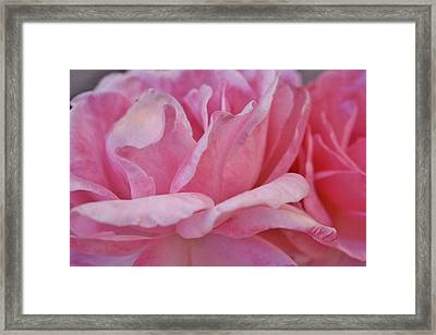 Pink Roses Macro 1 Framed Print