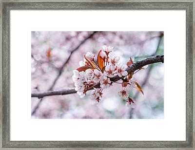 Framed Print featuring the photograph Pink Sakura Cherry Blossom by Alexander Senin