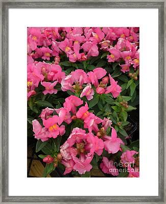 Pink Snapdragons Framed Print by DebiJeen Pencils