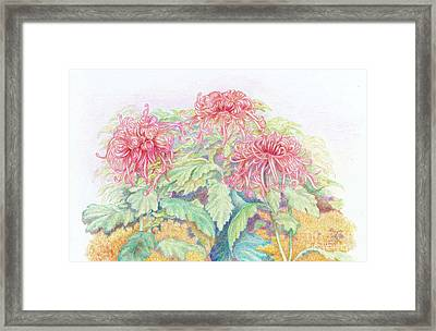 Pink Spider Mums Framed Print by Frances  Dillon