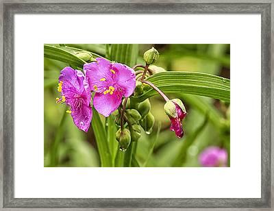 Pink Spiderwort Drip Drops Framed Print