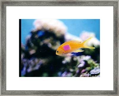 Pink Square Anthias Part II Framed Print by Steve  Heit