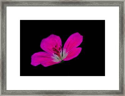 Pink Stamen Framed Print by Richard Patmore