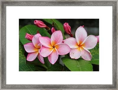 Pink Trio Framed Print