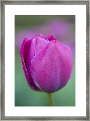 Pink Tulip Flower Framed Print by Frank Tschakert